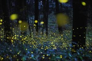 firefliesinflowersandgrass
